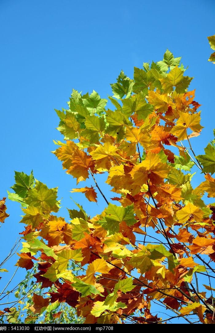 枯黄的梧桐树叶图片,高清大图_树木枝叶素材