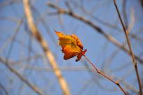 秋天的梧桐枯叶