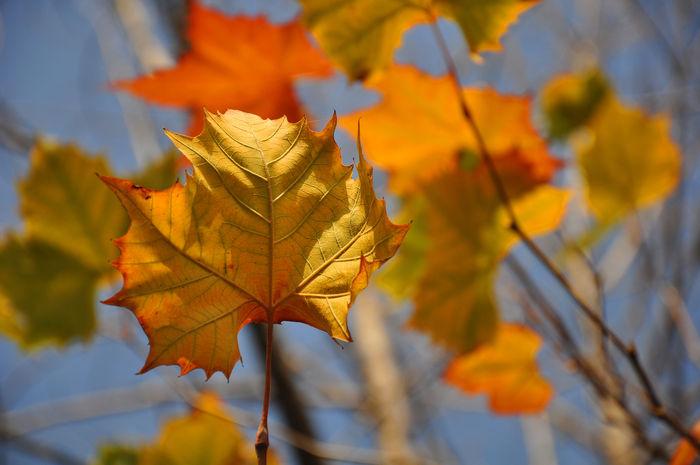 原创摄影图 动物植物 树木枝叶 秋天枯黄色的梧桐树叶