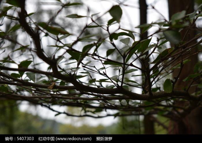 原创摄影图 动物植物 树木枝叶 藤树  请您分享: 红动网提供树木枝叶