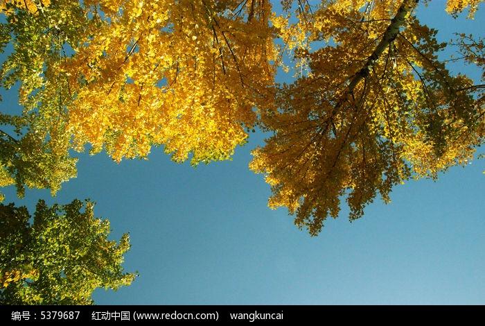仰望秋天图片,高清大图_森林树林素材