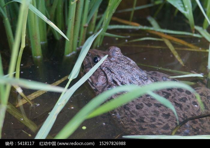 稻田里捕虫的青蛙图片