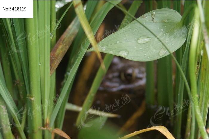 躲藏在稻田里的青蛙高清图片下载 红动网