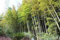 成片的竹林