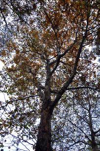 金灿叶子的梧桐树