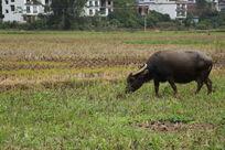 农田上有头牛