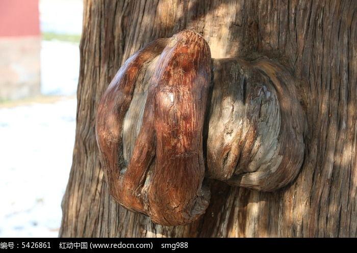 天坛古树上的大疙瘩图片,高清大图_树木枝叶素材