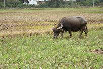 田野上的黑牛
