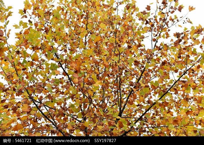 秋天的法国梧桐图片,高清大图_树木枝叶素材