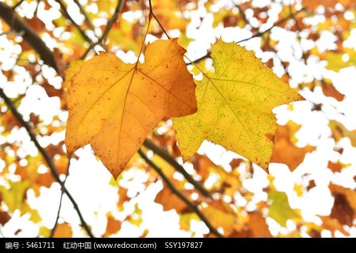 原创摄影图 动物植物 树木枝叶 秋天树叶色彩  请您分享: 红动网提供