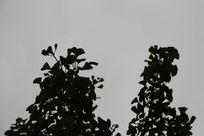 银杏树叶剪影背景