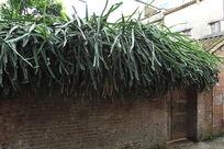 疯长的观赏植物大犀角老房子
