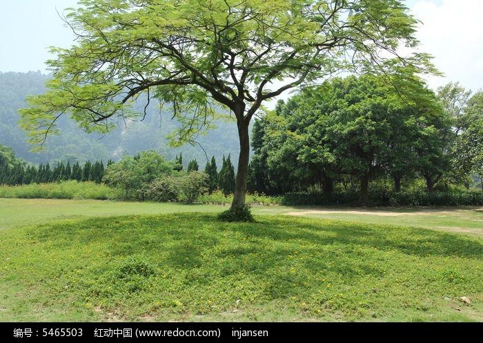 原创摄影图 动物植物 树木枝叶 合欢树  请您分享: 红动网提供树木