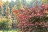 树林中的一抹红