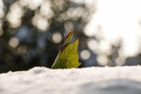 雪地上的黄叶