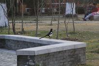 长尾巴黑白色鸟