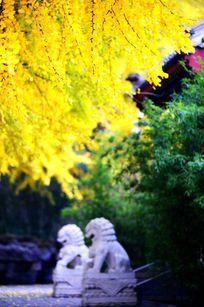 金秋银杏树下的一对狮子
