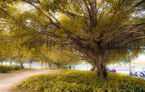 秋天的榕树