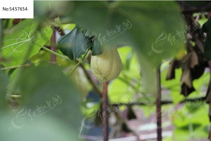 果实 洋丝瓜 丝瓜 枝叶 农业 瓜 瓜果 静物 结果 树枝 叶子 小瓜 瓜类