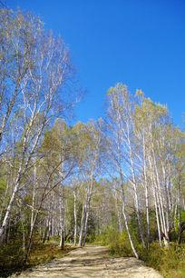 整齐的白桦树