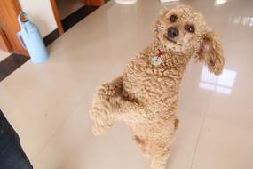 开心站立的狗