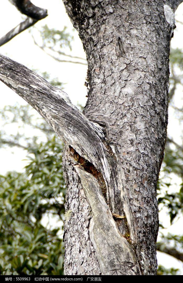 的千年古老松树