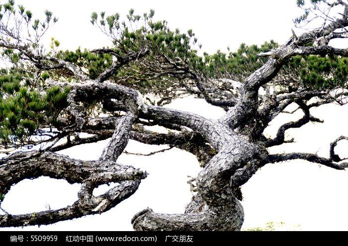 千年古老松树五针松