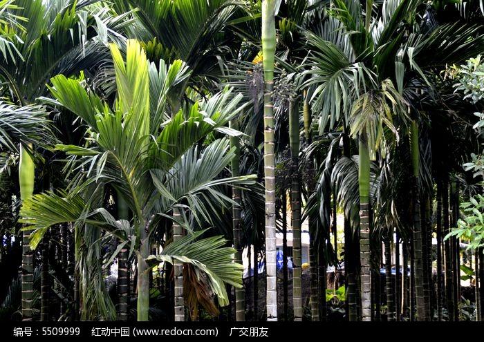 南方果树槟榔林图片