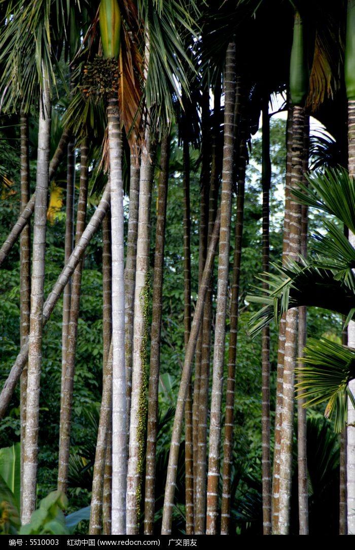 南方果树槟榔树槟榔林图片