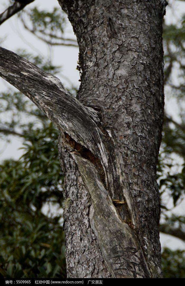 千年古老松树五针松图片