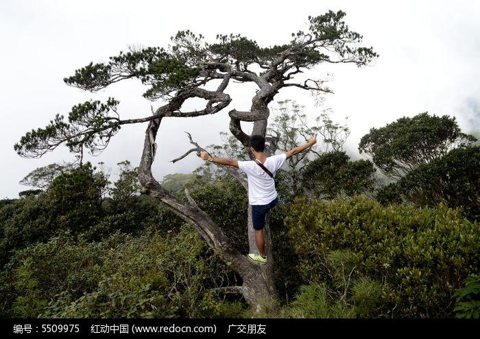 一个青年爬上上的千年古老松树