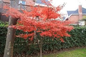 大树旁的一棵小红枫