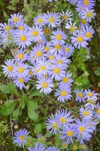 蓝色野菊花
