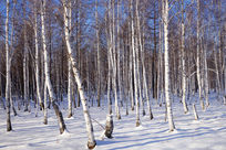 林海雪原白桦林