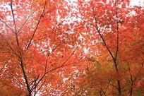 茂密的红枫叶