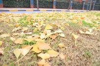 散落的金黄的银杏叶子