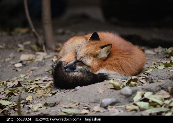 睡觉的狐狸图片