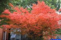 一棵红红的枫树