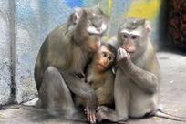 一只幼猴被父母呵护在怀里