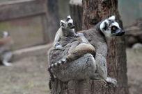 一只幼猴伏在母亲的后背上嬉戏