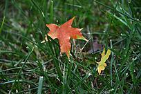 草地上的枫树叶子