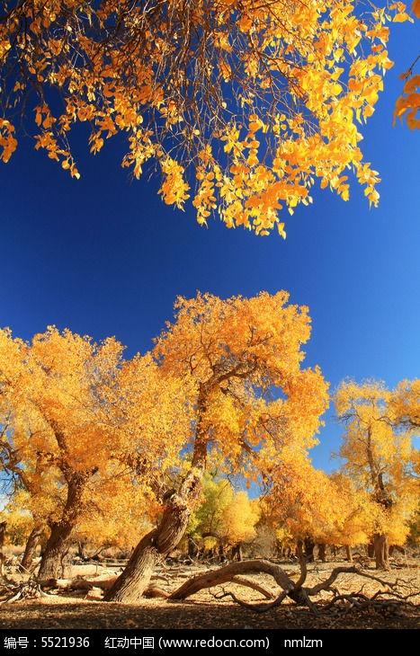 金色灿烂的胡杨树图片,高清大图_森林树林素材