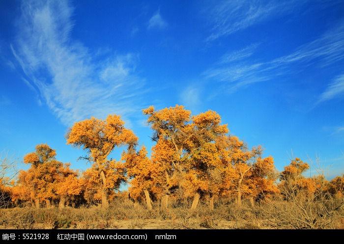 金色的胡杨树图片,高清大图_森林树林素材