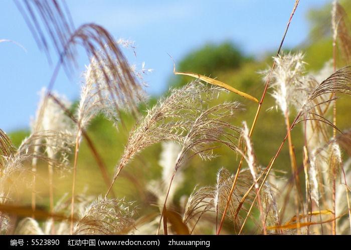 原创摄影图 动物植物 树木枝叶 芦苇