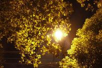 漂亮梧桐树叶