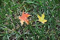 秋天落到草坪上的红枫叶