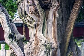 粗壮的苍劲树干