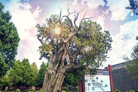 大气磅礴树干