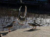 红嘴鸥展翅