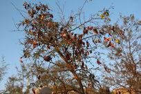 秋天的牛板荚